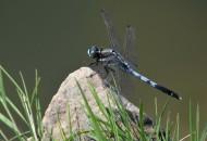 藍蜻蜓圖片_5張