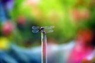 荷塘的蜻蜓圖片_12張