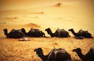 沙漠中的骆驼图片_8张