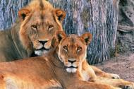 獅子圖片_18張