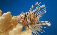 美丽的狮子鱼图片_18张