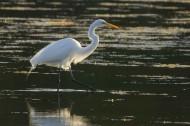 站在水中的一只白鹭图片_13张