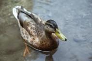 水中的鴨子圖片_17張