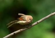 棕头鸦雀鸟类图片_9张
