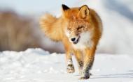 狡猾的狐貍圖片_16張