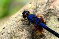 微距蜻蜓圖片_5張