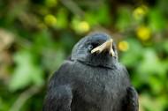 黑色的乌鸦图片_17张