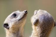 喜愛群居的狐獴圖片_15張
