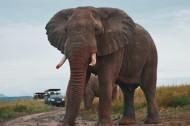 有象牙的大象图片_14张