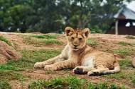 可愛的小獅子圖片_13張