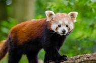 野生的小熊貓圖片_12張