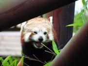 活潑可愛的小熊貓圖片_13張