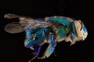 蜜蜂圖片_16張