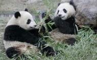 熊猫图片_17张
