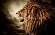 兇猛的獅子圖片_11張