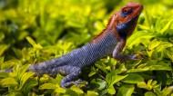 颜色鲜艳的蜥蜴图片_17张