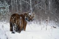 雪地里的老虎圖片_6張