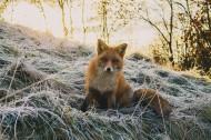 可爱的野生狐狸图片_6张
