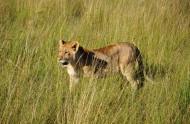 凶猛的野生母狮子图片_12张