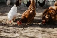 鸡在地上走的图片_15张