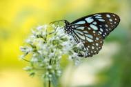枝頭的蝴蝶圖片_12張
