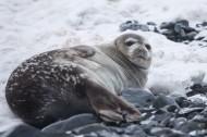 可爱的海豹图片_13张
