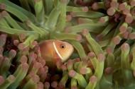 小丑鱼和海葵图片_10张