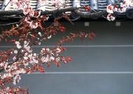 樱花和日式庭院图片_23张