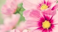 小清新雏菊花朵背景图片_44张