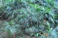 矮棕竹植物圖片_4張