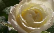 淡雅的白玫瑰圖片_20張