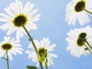 白色的菊花和郁金香图片_22张