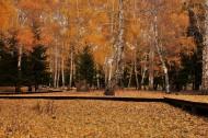 秋天的白桦林图片_14张
