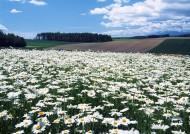白色花丛图片_10张