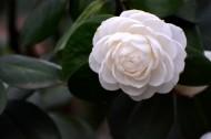 白色山茶花圖片_10張