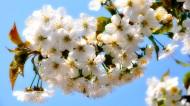 漂亮的白色樱花图片_15张