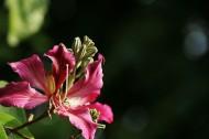 紫荊花圖片_9張
