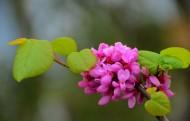 神秘紫荊花花卉圖片_11張