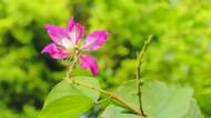 熱鬧的紫荊花圖片_10張