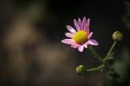 粉色雛菊圖片_11張
