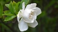 純潔的白色梔子花圖片_14張