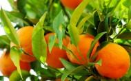 樹上的橘子圖片_5張