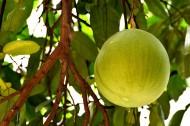 未成熟的柚子圖片_6張