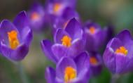 紫色的番紅花圖片_6張