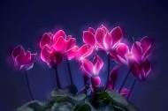如梦如幻仙客来花卉图片_12张