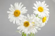 盛开的白色雏菊图片_20张