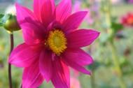 盛開的紫色大麗花圖片_14張