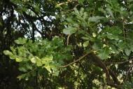 吊瓜树植物图片_4张