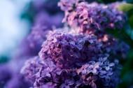 紫色丁香花圖片_20張