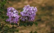 紫色的丁香花圖片_8張